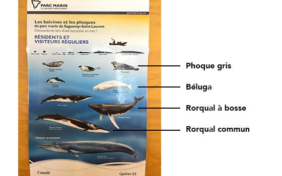baleines du Saguenay au Québec