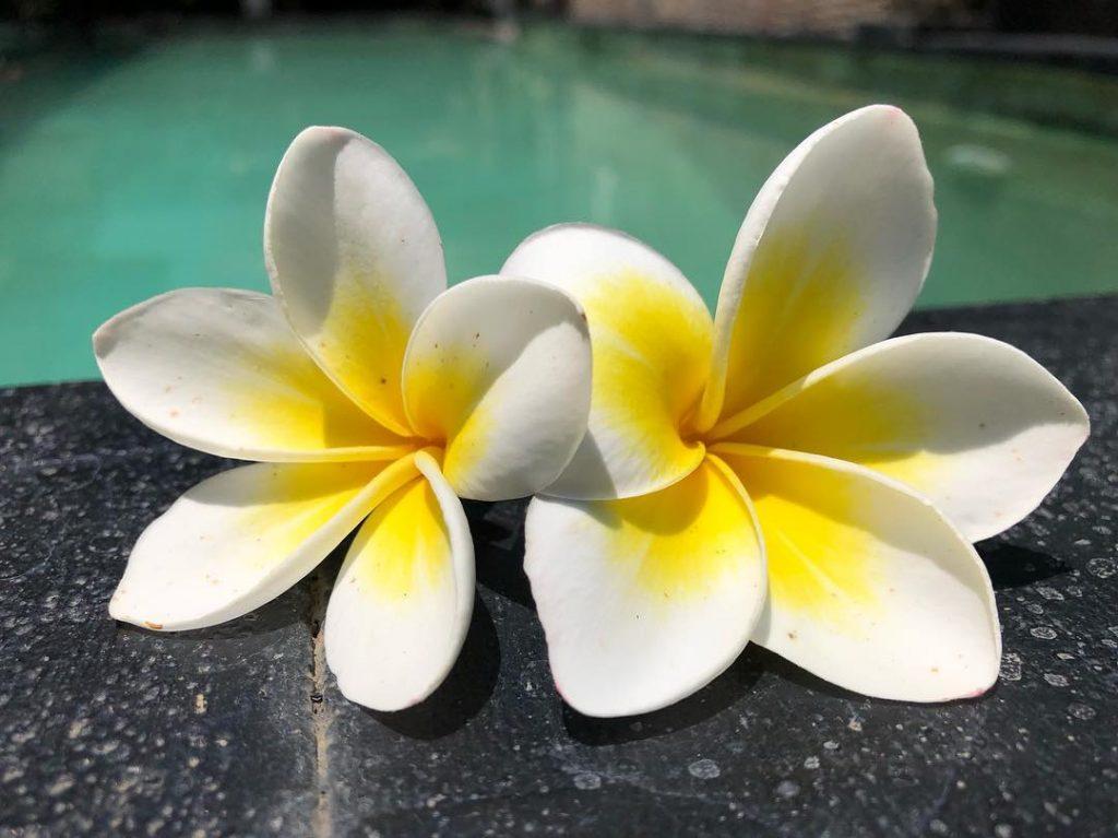 fleur de frangipanier à Bali